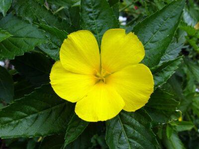Damiana fleur